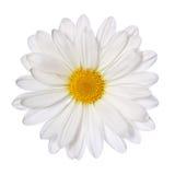 Kamillenblume lokalisiert auf Weiß. Gänseblümchen. Stockfotos