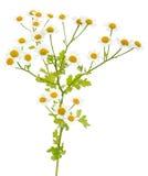 Kamillenblumen lizenzfreies stockfoto
