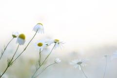 Kamillenblumen Lizenzfreie Stockfotografie