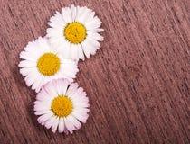 Kamillenblumen Stockfotos