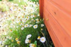 Kamillenblumen Stockbild