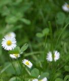 Kamillenblumen auf einem grünen Hintergrund Stockfoto