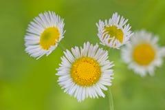 Kamillenblumen auf einer Wiese am Sommer Lizenzfreies Stockbild