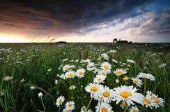 Kamillenblumen bei stürmischem Sonnenuntergang Lizenzfreies Stockfoto