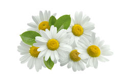 Kamillenblumen-Gruppenblätter lokalisiert auf Weiß Stockfoto