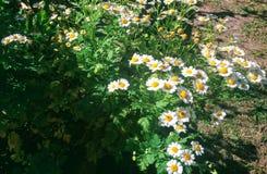 Kamillenblumen im Garten Lizenzfreies Stockbild