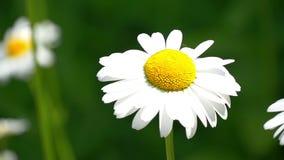 Kamillenblumen schließen oben Art des Sommers, Blumenfelder, Wiese der wilden Blume, Botanik und Biologie, Video für stock footage