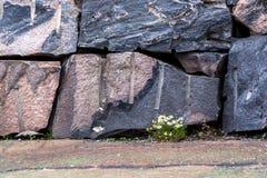 Kamillenblumen wachsen durch die nahtlosen rechteckigen roten Granitfelsen der Steinmaurerarbeit und die grauen Schatten, natürli stockbild