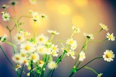 Kamillenblumenstrauß Stockfotos