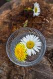 Kamillenchrysanthemen, die auf das Wasser schwimmen Stockbilder