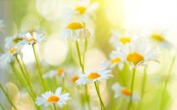 Kamillenfeld blüht Grenze Schöne Naturszene mit blühender Kamille in den sunflares Blaues Meer, Himmel u stockbild