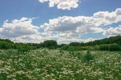 Kamillenfeld unter blauem Himmel stockfotos
