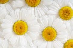 Kamillenhintergrund Stockfotos