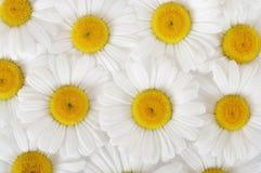 Kamillenhintergrund Stockfoto