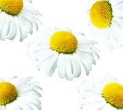 Kamillenhintergrund Lizenzfreies Stockfoto