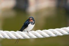 Kaminschwalbe auf einem Seil Lizenzfreie Stockfotos