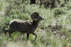 Kamloops Big Hornfår fotografering för bildbyråer