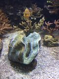 Kamm-Muschelleben im Aquarium von Monaco Stockbild