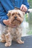 Kamma hunden för Yorkshire terrier vertikalt Fotografering för Bildbyråer