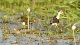 Kamma krönade Jacana med fågelungen, Yellow River, Australien Royaltyfria Foton