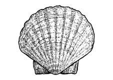 Kammusslor mussla, skalillustration, teckning, gravyr, färgpulver som är realistiskt Royaltyfri Illustrationer
