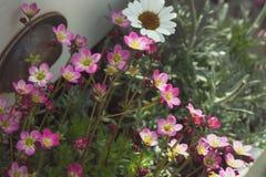 Kamnelomka Arendsa虎耳草属植物-装饰的庭院,花床,高山庭院一棵柔和和典雅的植物 免版税库存图片