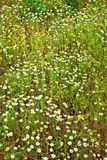 Kamomill blommar på äng Royaltyfria Foton
