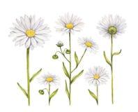 Kamomill blommar samlingen royaltyfri illustrationer