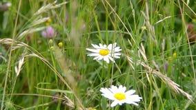 Kamomill för två vit i det gröna gräset stock video