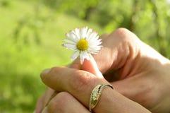 Kamomill i händerna av Royaltyfri Foto