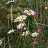 Kamomill löst gräs Arkivfoto