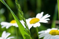 Kamomill och grönt gräs Arkivfoto