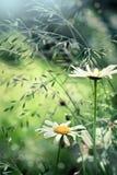 Kamomill på äng, med abstrakt suddig bakgrund, sh closeup Fotografering för Bildbyråer