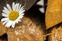 Kamomill på en bakgrund av trä Arkivfoto