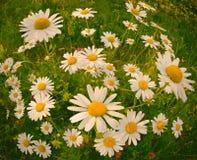 Kamomillar i ängen, blom- bakgrund för varm sommartid Arkivfoton