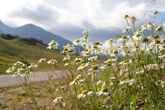 Kamomillar längs vägen i nationalparken Durmitor i Montenegro Arkivbild