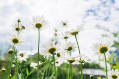 Kamomillar på solljus Royaltyfria Bilder