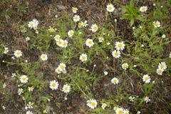 Kamomillar växer på jordningen på ängen royaltyfria foton