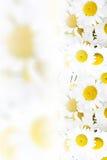 Kamomillbakgrund Arkivfoto