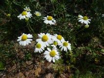 Kamomillblomma med den vita blomningen i skogen fotografering för bildbyråer