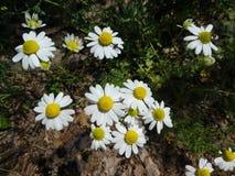 Kamomillblomma med den vita blomningen i skogen royaltyfria bilder