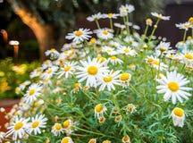 Kamomillblomma på blommakupolen i trädgård vid fjärden royaltyfri fotografi