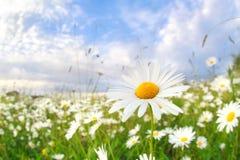 Kamomillblomma på sommaräng Fotografering för Bildbyråer