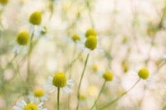 Kamomillblommalandskap, gr?n blomningbakgrund royaltyfri bild