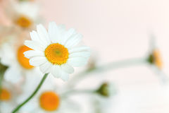 Kamomillblomman Royaltyfria Bilder