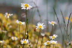 Kamomillblommor blomma äng Flod fotografering för bildbyråer