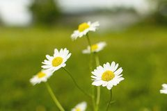Kamomillblommor på gräsbakgrund royaltyfria foton