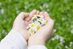 Kamomillen blommar i barns händer Arkivbilder