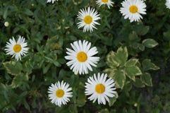 Kamomillen blommar i gräset Arkivfoto