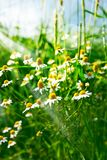 Kamomillen blommar i sommar royaltyfria bilder